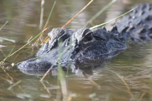 Alligator airboat ride Everglades city fl