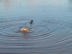 may 15 2013 picts gator  fishing 051