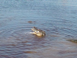 may 15 2013 picts gator  fishing 056