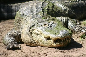 image of an American Alligator