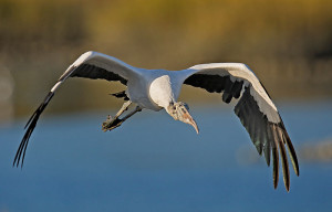 image of an American wood stork