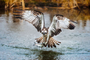 osprey-flying