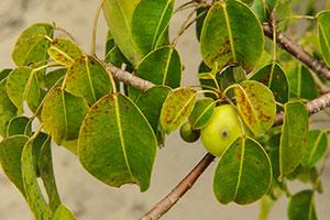 poisonwood tree
