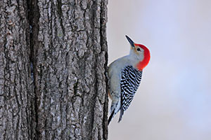 A red-bellied woodpecker in a tree.