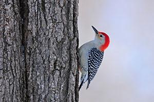 A red-bellied woodpecker in a tree.