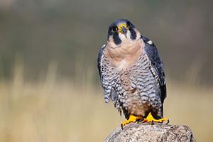 A perched peregrine falcon.