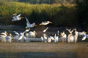 American White Pelicans Flying Low Over The Marsh