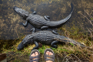 wildlife in the everglades