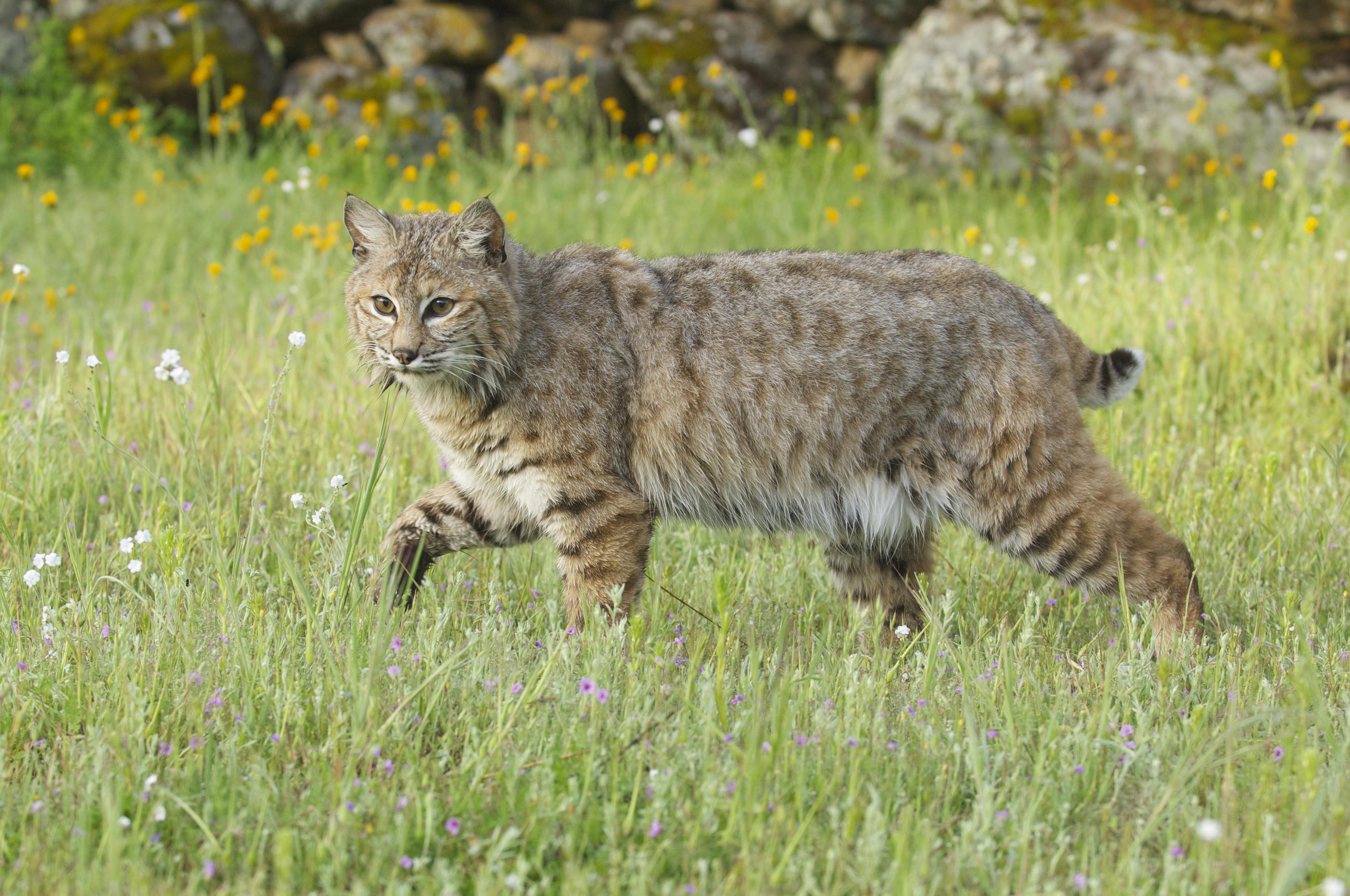 bobcat - photo #21